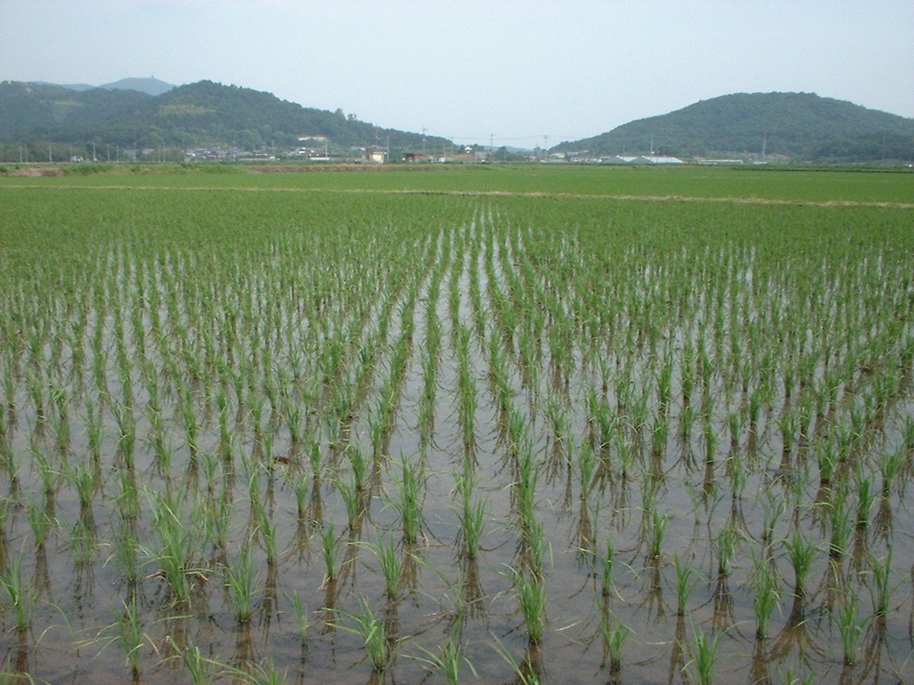rice fields - photo #21